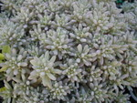 Sedum hispanicum 'Blue Carpet'