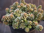 Sedum 'Little Gem'  [xCremnosedum 'Little Gem'] (2)