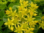 Sedum kamtschaticum  'Golden Carpet' [Phedimus kamtschaticus 'Golden Carpet'] (1)