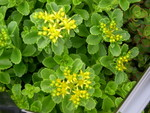 Sedum kamtschaticum 'Golden Carpet' [Phedimus kamtschaticus 'Golden Carpet'] (2)