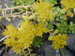 Sedum oreganum (Col Bob Mountain 2000' riverbed)