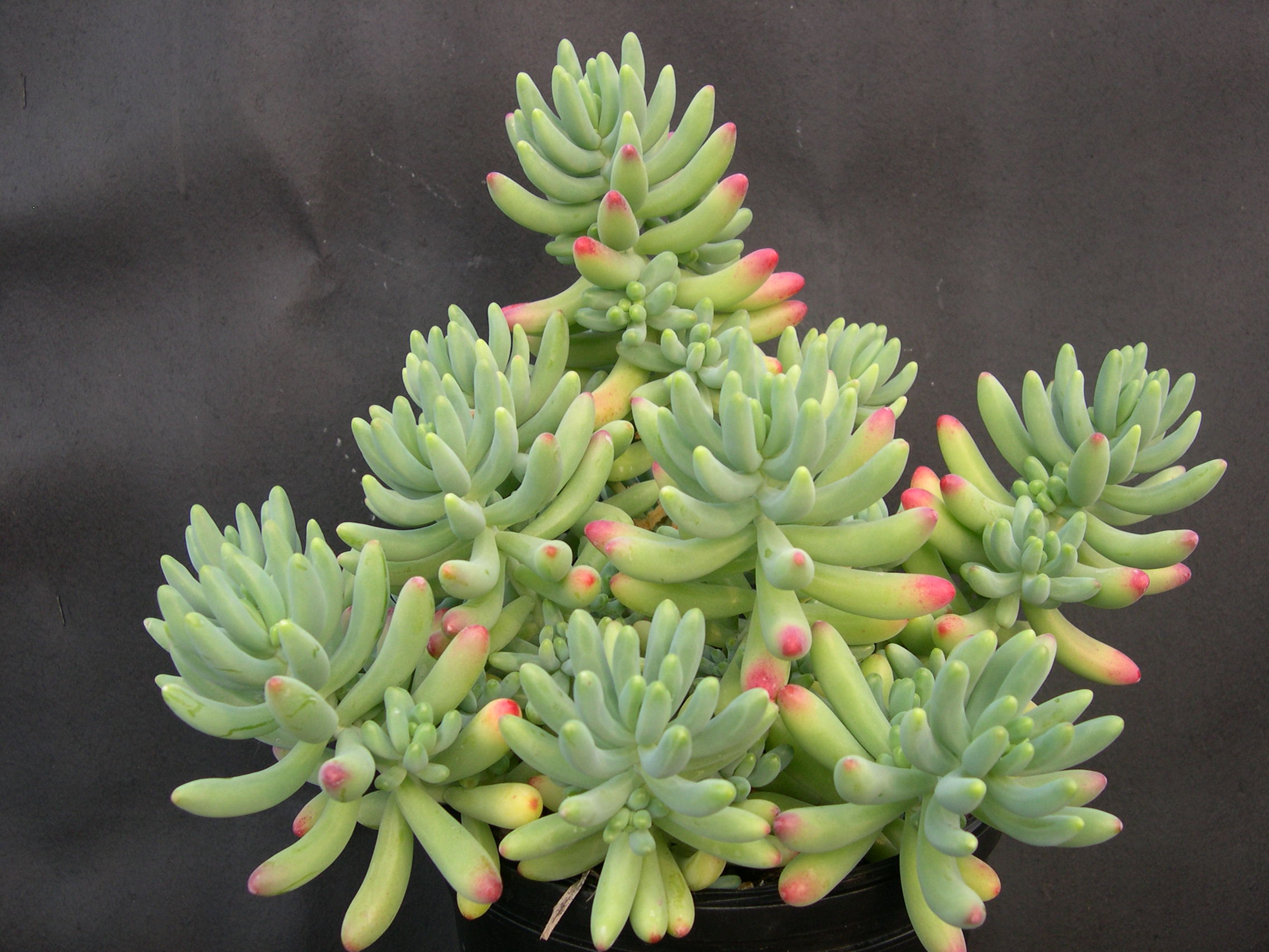 Sedum pachyphyllum thin blue form (1)