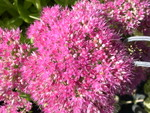Sedum spectabile 'Brilliant' [Hylotelephium spectabile 'Brilliant']