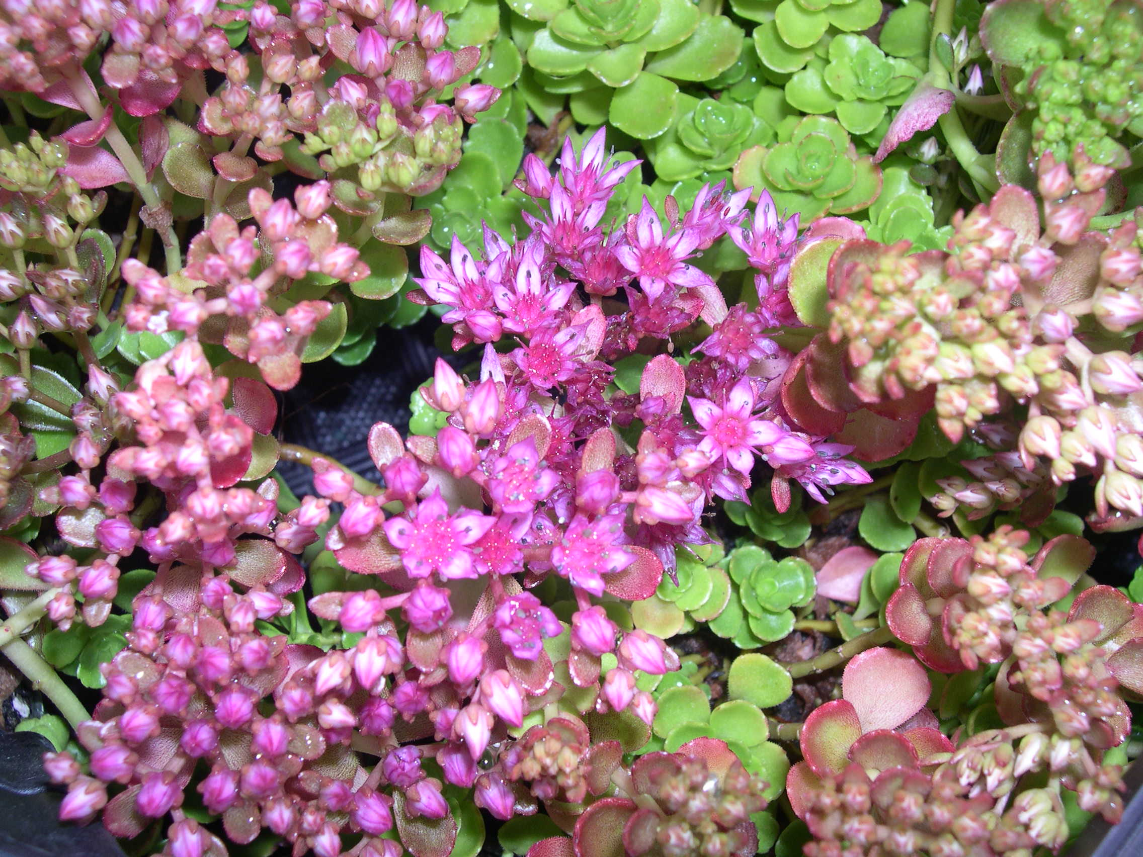 Sedum spurium 'Dr. John Creech' Phedimus spurius 'Dr. John Creech'