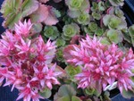 Sedum spurium 'Ruby Mantle' [Phedimus spurius 'Ruby Mantle'] (2)