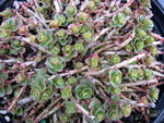 Sedum spurium from Turkey [Phedimus spurius from Turkey]