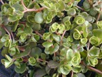 Sedum tetractinum (2)