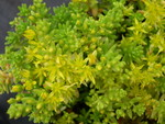 Sedum uniflorum senanense (1)