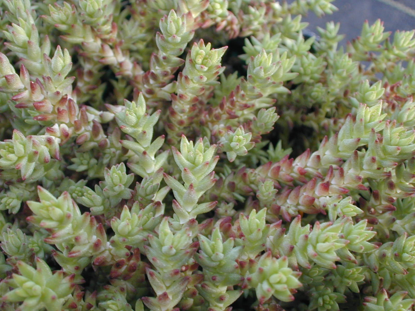 Sedum urvillei red
