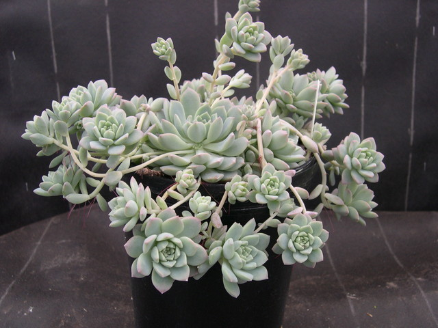 Echeveria prolifica (1)