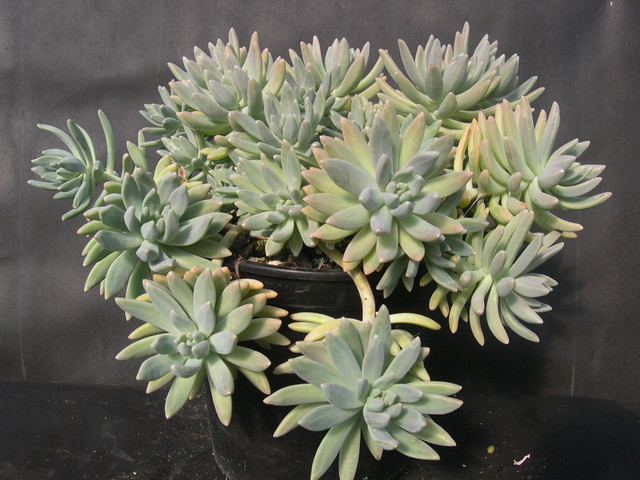 x Graptosedum 'Francesco Baldi' (2)