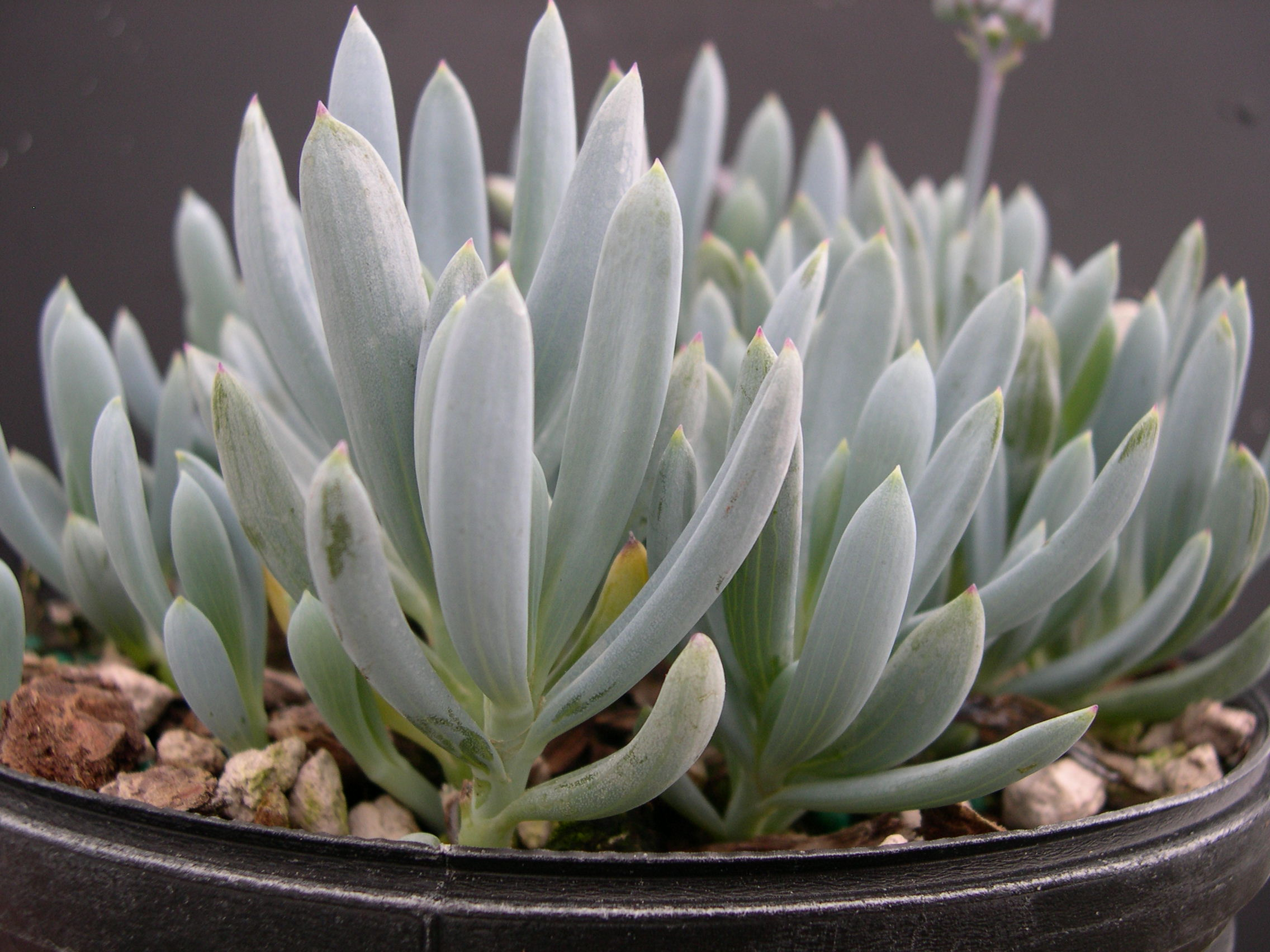 Senecio serpens (2)