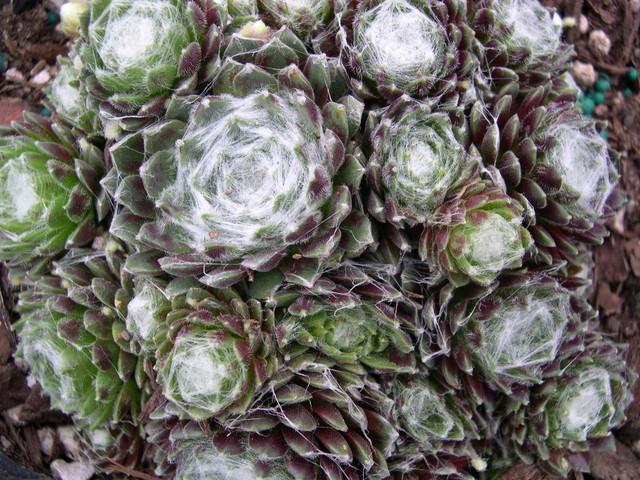[Jardin de Charles] Nouvelle passion:sempervivum et joubarbe Sempervivum+arachnoideum+Rubrum