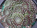 Sempervivum 'Ashes of Roses'