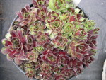 Sempervivum 'Black Mountain'