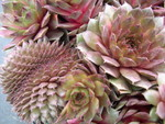 Sempervivum 'Boromir'