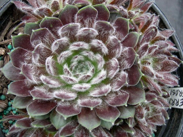 Sempervivum 'Cherry Frost'