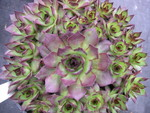 Sempervivum 'Edge of Knight'