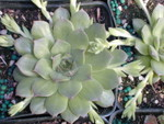 Sempervivum 'Excalibur' ???(2)