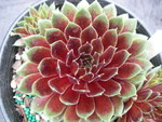 Sempervivums (F-M)