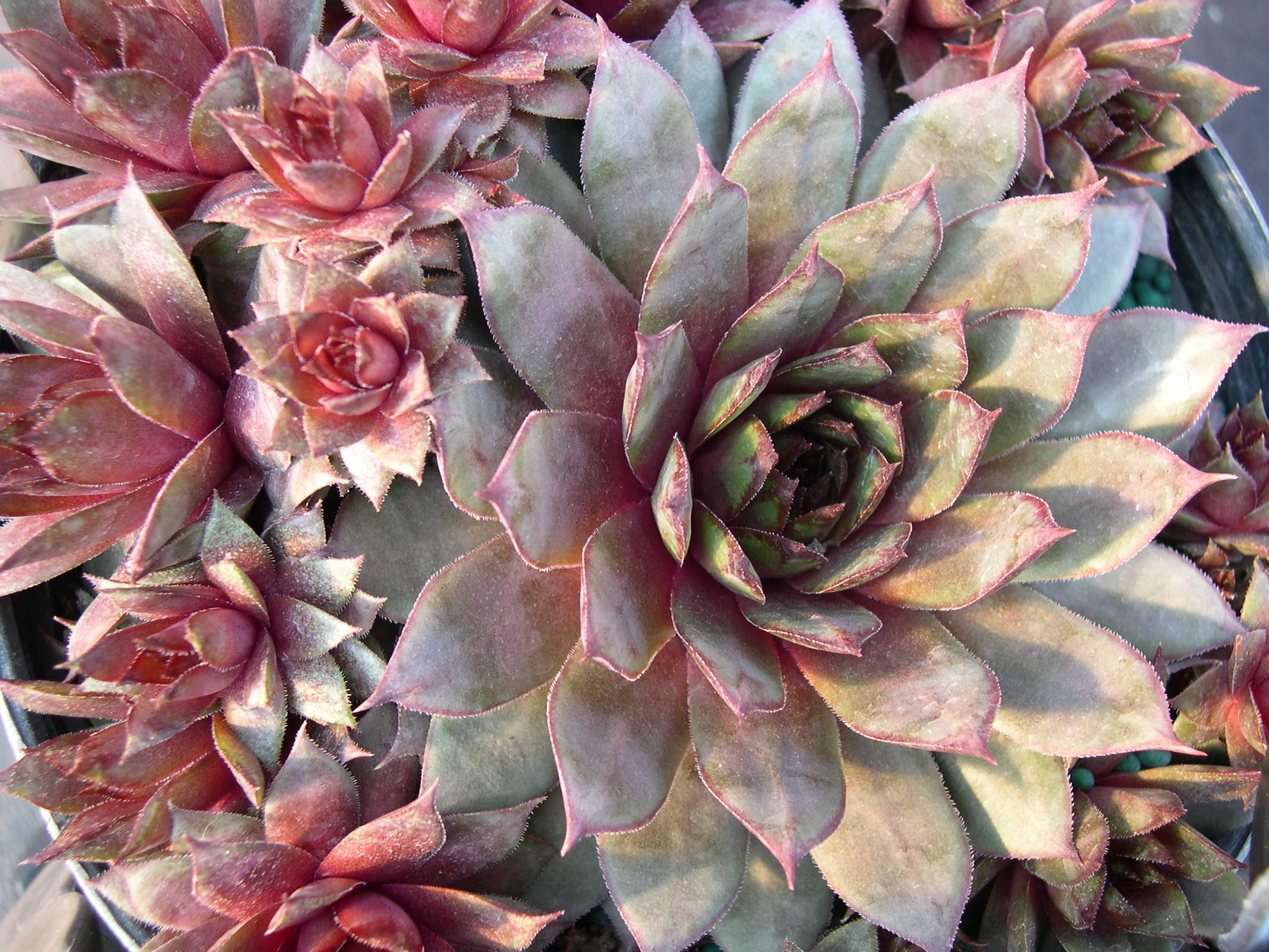 Sempervivum 'Galahad'