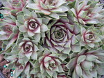 Sempervivum 'Glaucum Minor'