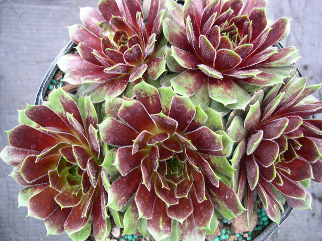 Sempervivum 'Happy'