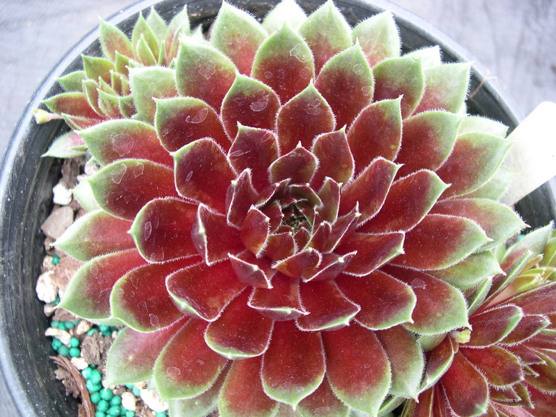 Sempervivum 'Heigham Red'