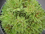 Sempervivum 'Magic Spell'