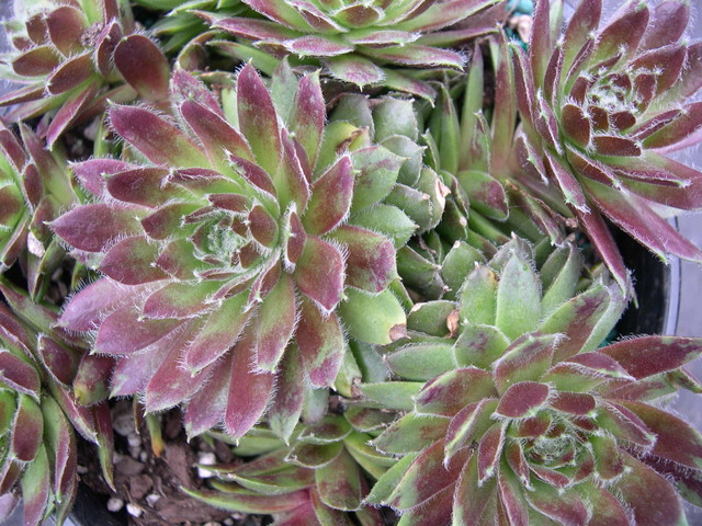 Sempervivum 'Mayfair Hybrid'