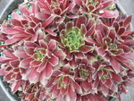 Sempervivum 'Montage'