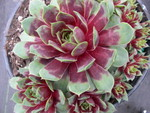 Sempervivum 'Mystic'