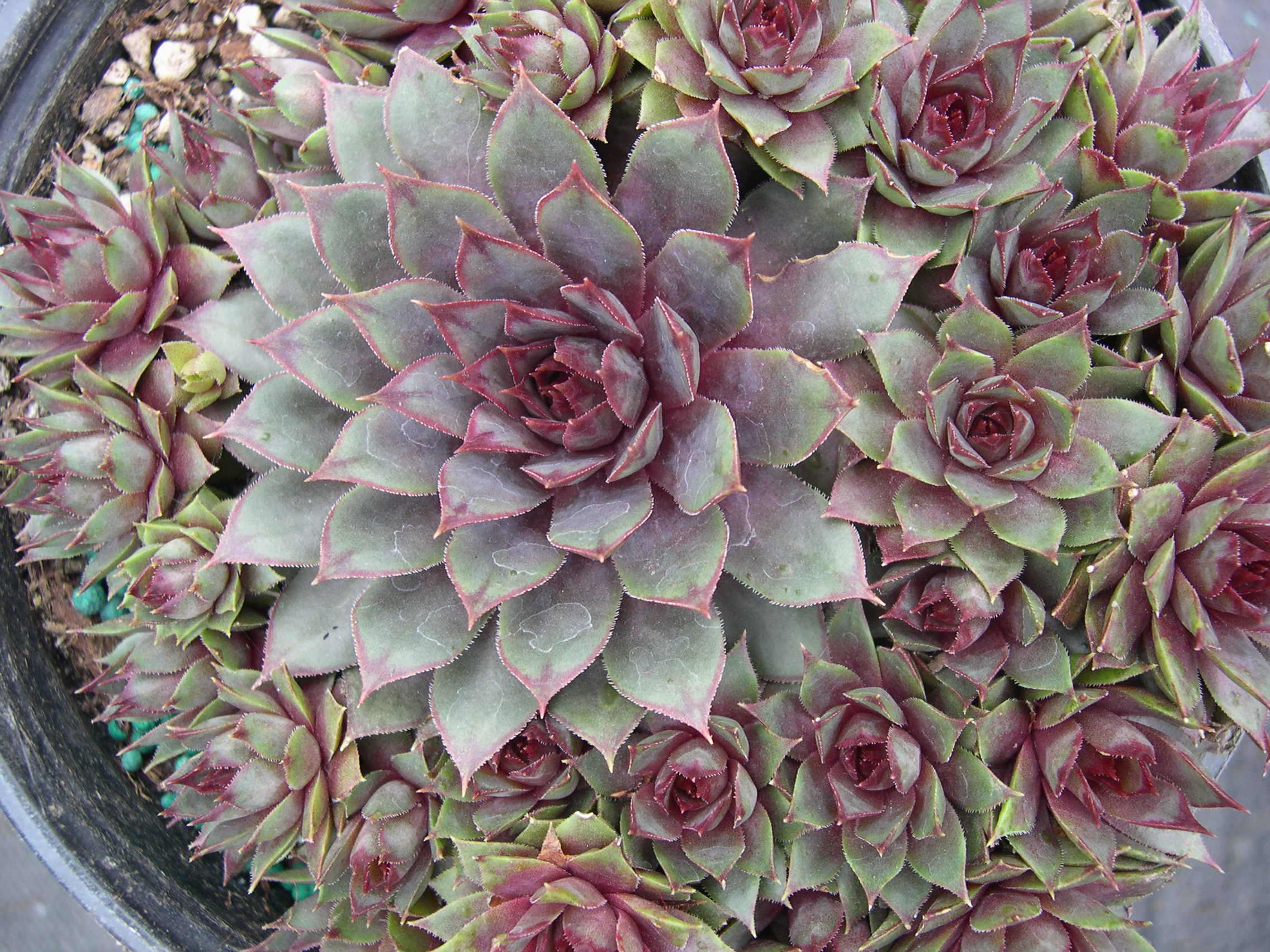 Sempervivum 'Nortoft's Hybrid'