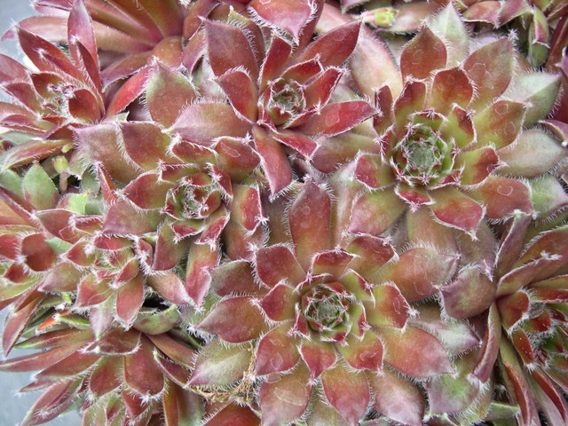 Sempervivum 'Pacific Sparkler'