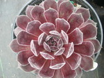 Sempervivum 'Pacific Spring'
