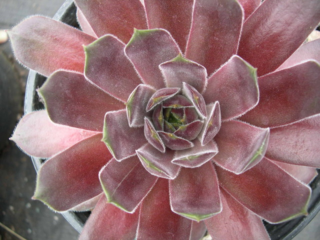 Sempervivum 'Packardian'