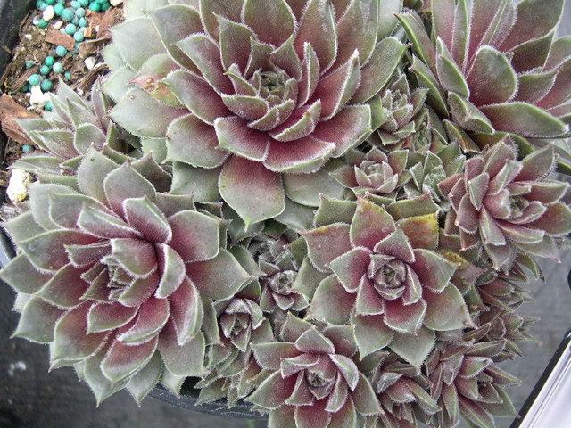 Sempervivum 'Racy'