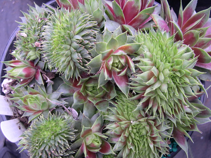 Sempervivum 'Red Flush' (1)