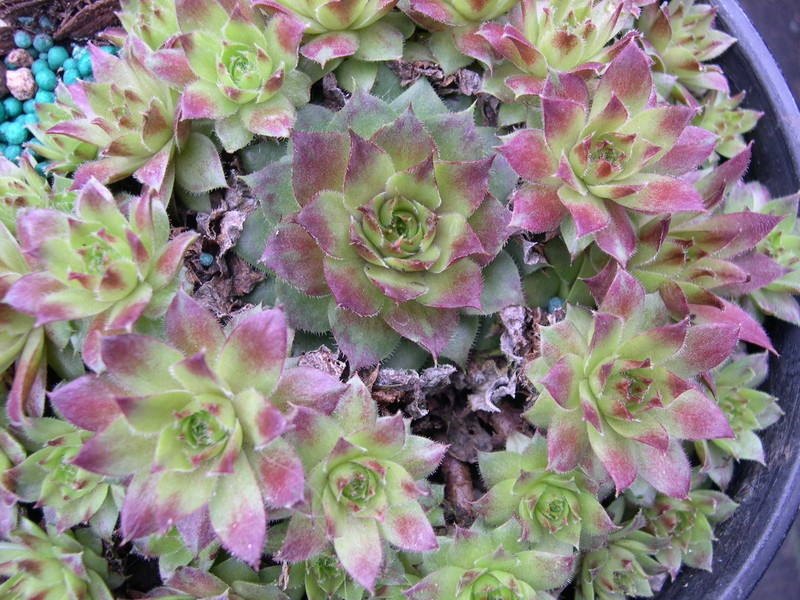 Sempervivum 'Rogin'