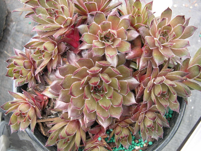 Sempervivum 'Sanford Hybrid'