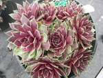 Sempervivum 'Trazo'