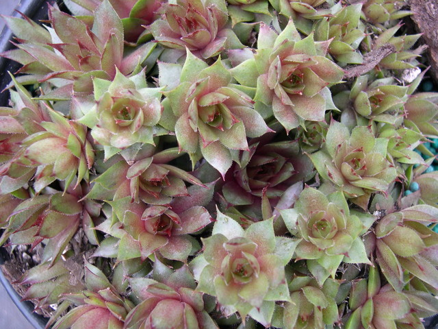 Sempervivum 'Triste'