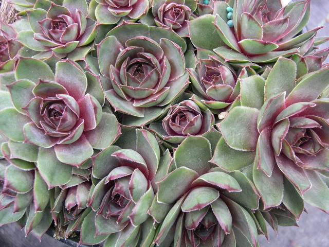 Sempervivum 'Watermellon Rind'