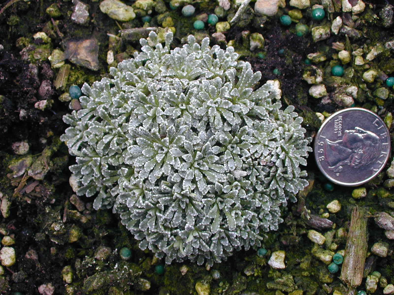 Saxifraga cochlearis minor