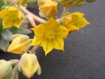 Sedeveria 'Yellow Humbert' (3)