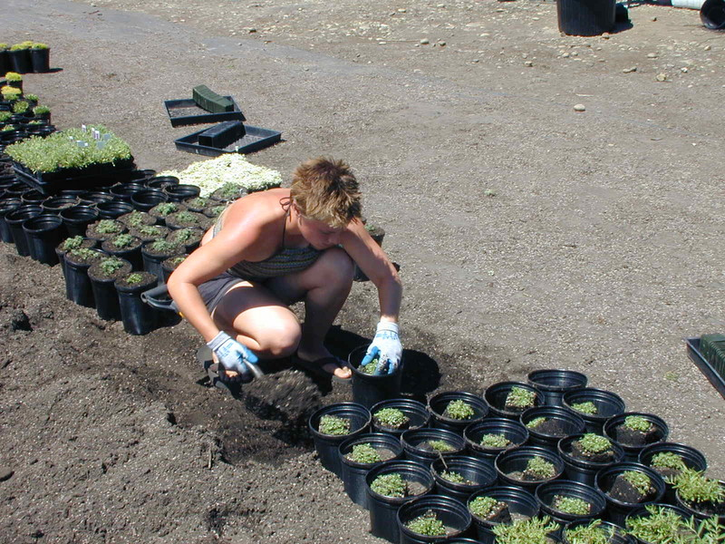 Gallon potting July 2002  (1)