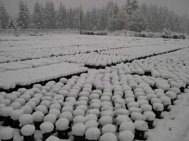Snow at the nursery in November