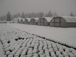 Snow at the nursery 11-2-03 (6)