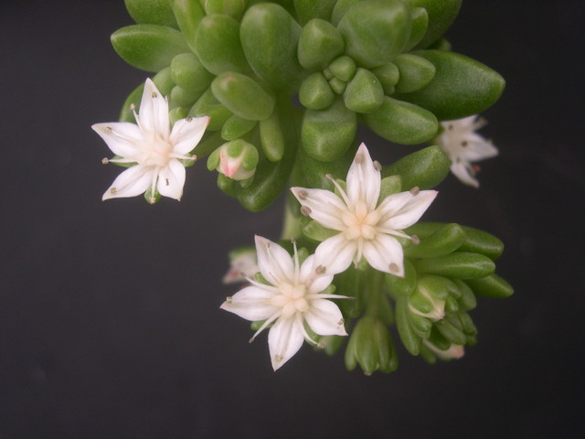 Sedum 'China Doll' (25)