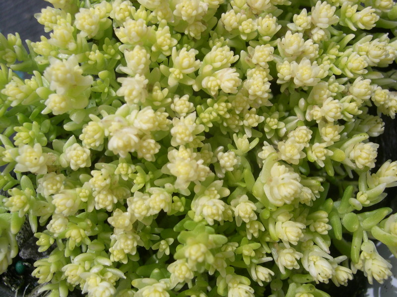 Sedum acre 'Yellow Queen' (1)
